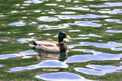 The wood duck lake  nature  animal drake wildlife Royalty Free Stock Images