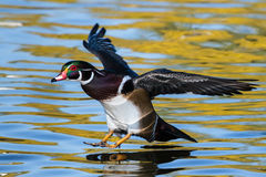 Wood Duck Landing. Wood duck moments before touchdown in a colorful pond royalty free stock images
