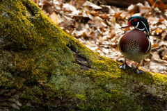 Wood Duck on Log. Wood Duck with brown, beige, black, green and white feathers standing on a moss-covered log Stock Image