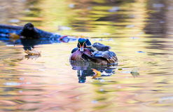 Free Wood Duck Male. Stock Images - 79136254