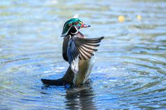 A wood duck male in blue water drying its wings. The wood duck or Carolina duck is a species of perching duck found in North America. It is one of the most Royalty Free Stock Photo