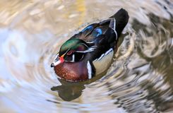 A wood duck male in blue water reflecting the sky. The wood duck or Carolina duck is a species of perching duck found in North America. It is one of the most Royalty Free Stock Images