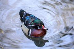 A wood duck male in blue water reflecting the sky. The wood duck or Carolina duck is a species of perching duck found in North America. It is one of the most Royalty Free Stock Image