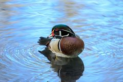 A wood duck male in blue water. The wood duck or Carolina duck is a species of perching duck found in North America. It is one of the most colorful North Stock Photography