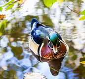 Wood Duck male. Royalty Free Stock Images