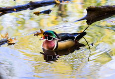Wood Duck male. Stock Photography