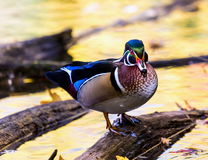 Wood Duck male. Royalty Free Stock Photos