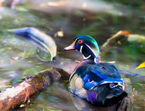 Wood Duck male. Royalty Free Stock Photography