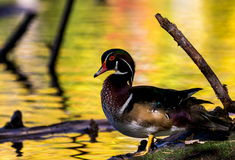 Wood Duck male. Stock Images