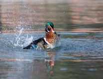 Wood Duck Male. Royalty Free Stock Image