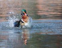 Wood Duck Male. Stock Photo