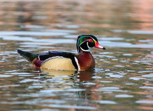 Wood Duck Male. Stock Photos