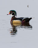 Wood Duck. Male Wood Duck, close up Stock Photos