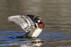 Wood Duck (male) Royalty Free Stock Image