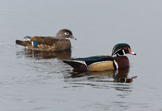 Wood Duck. Male and Female Wood Duck, close up Royalty Free Stock Photos