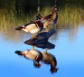 Wood Duck, Male and Female on a Log. Wood duck pair on a Log in a pond with a reflection Stock Images