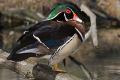 Wood Duck. Male Wood Duck standing on a log Stock Image