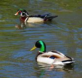 Wood Duck  Mallard Duck. Colorful Male Wood Duck and Mallard Duck in their natural habitat Royalty Free Stock Photos