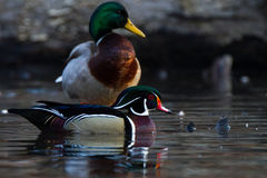 Wood duck and mallard Stock Photo