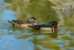 Wood Duck Mating Pair Swimming in a Lake royalty free stock photography