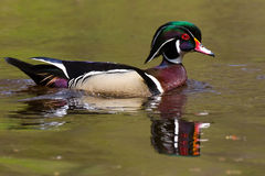 Wood Duck Mirror Swim royalty free stock images