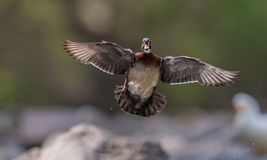 Wood Duck. In New Jersey Stock Images