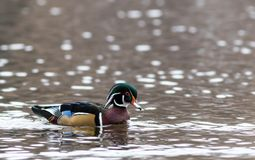 Wood Duck Aix sponsa male in beautiful reflective lake water on an afternoon in late fall. The wood duck is one of the most colorful ducks found in North America Stock Image
