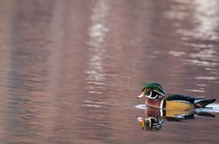 Wood Duck Aix sponsa male in beautiful reflective lake water on an afternoon in late fall Stock Photo