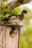 Wood Duck Pair stock image