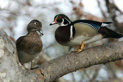 Wood Duck Pair Stock Photos