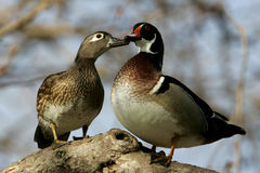 Wood Duck Pair. Pair of courting wood ducks nuzzling on tree limb Stock Photography
