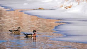 Wood Duck Pair Aix Sponsa swimming side by side Stock Photos