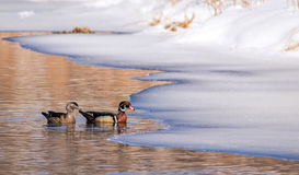 Wood Duck Pair Aix Sponsa swimming together Royalty Free Stock Photography