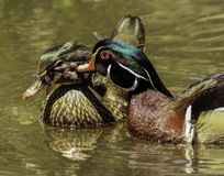 Wood Duck Pair. Colorful male and female ducks swimming Royalty Free Stock Photography