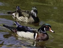 Wood Duck Pair. Colorful male and female ducks swimming Royalty Free Stock Image