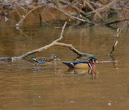 Wood Duck Pair. A Drake Wood Duck and hen swimming on a small lake with limbs partly submerged limb in the background Royalty Free Stock Photography