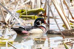 Wood duck pair, male/female in marsh. royalty free stock photos