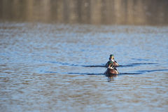 Wood Duck pair. Pair of Wood Duck males advance in line Stock Photography