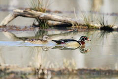 Wood Duck pair on a morning swim. Stock Images