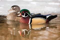 Wood Duck Pair Swimming Together. Male and female Wood Ducks swimming next to ice coverd bank on a small stream in winter, Montana Royalty Free Stock Photo
