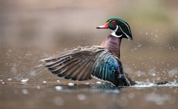 Wood Duck in Pennsylvania. Wood Duck in a Pennsylvania stream Stock Photo