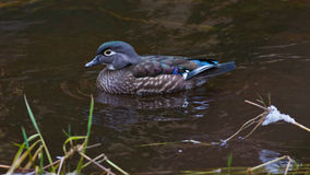 Wood Duck on Pond Royalty Free Stock Photos