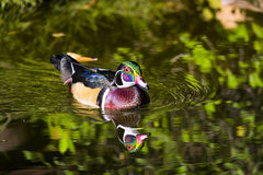 Wood Duck on a Pond Stock Photo
