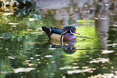 Wood Duck on a Pond Royalty Free Stock Image