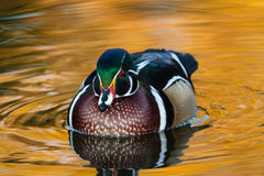 Wood Duck in Pond. Wood duck floating gently in a colorful pond Stock Photos