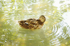 Wood duck Royalty Free Stock Photography