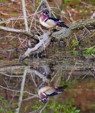 Wood Duck Reflected In Pond Royalty Free Stock Image