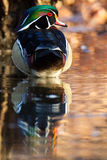 Wood Duck Reflection. Wood Duck Reflected on pond surface Royalty Free Stock Image