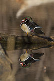 Wood duck reflection Stock Images