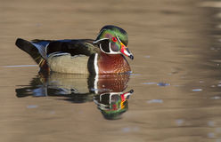 Wood duck reflection Royalty Free Stock Photos